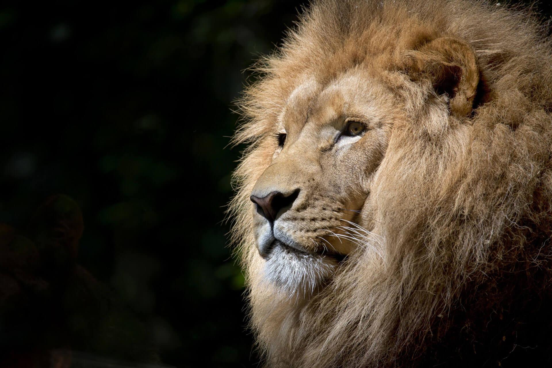 Ross-Pepper-Personal-Development-Lion