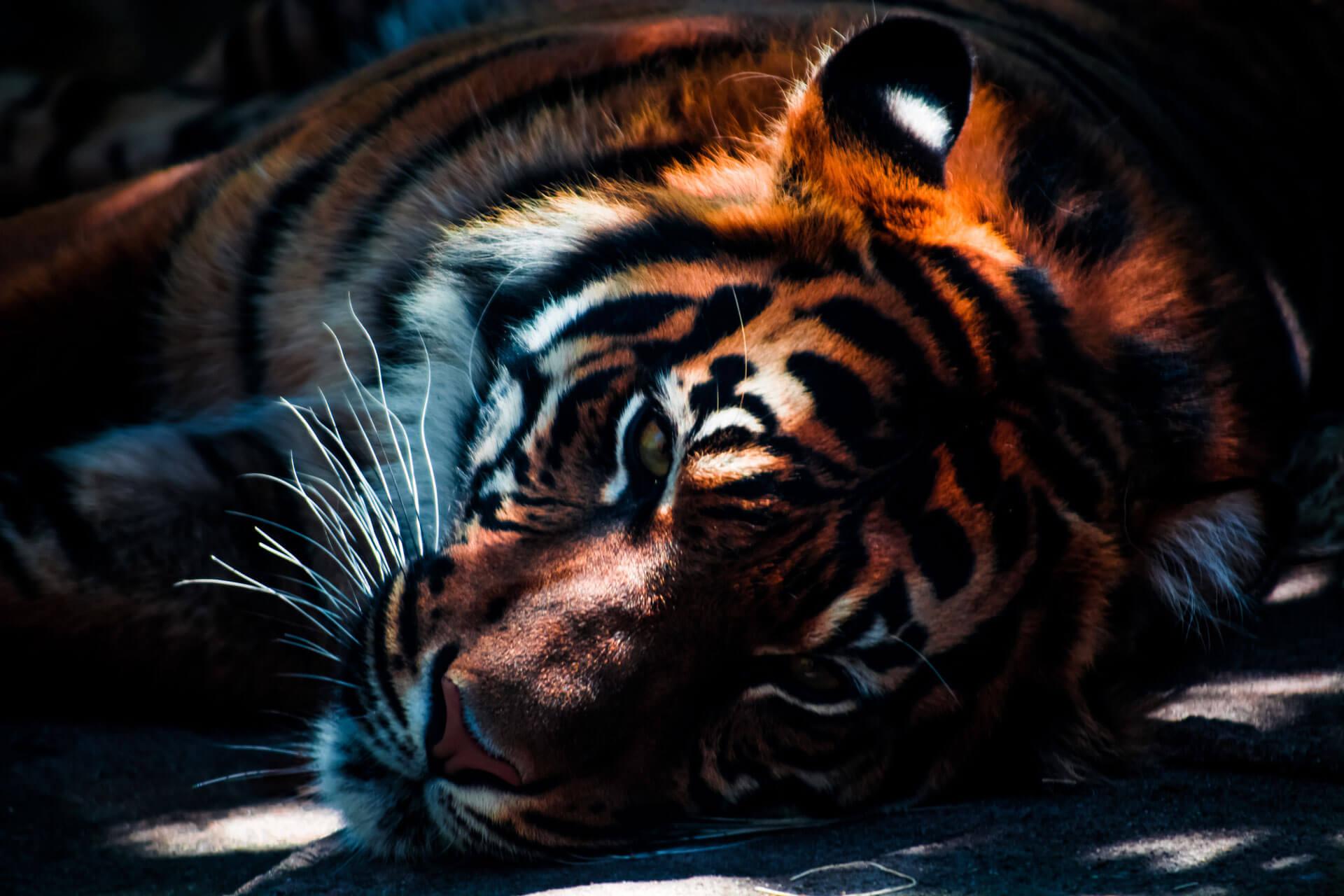 Ross-Pepper-Dream-Tiger