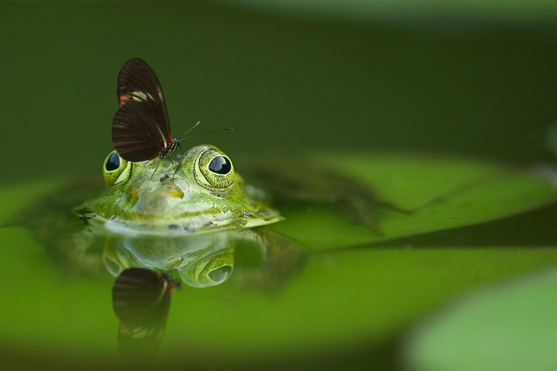 Ross-Pepper-Survival-Butterfly-Frog